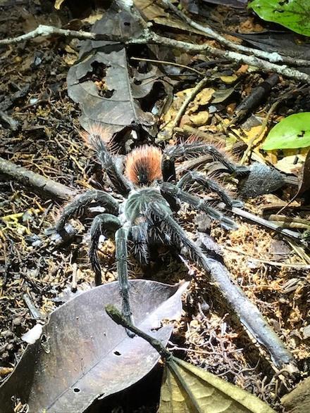 Tarantula in de Cuyabeno Wildlife Reserve