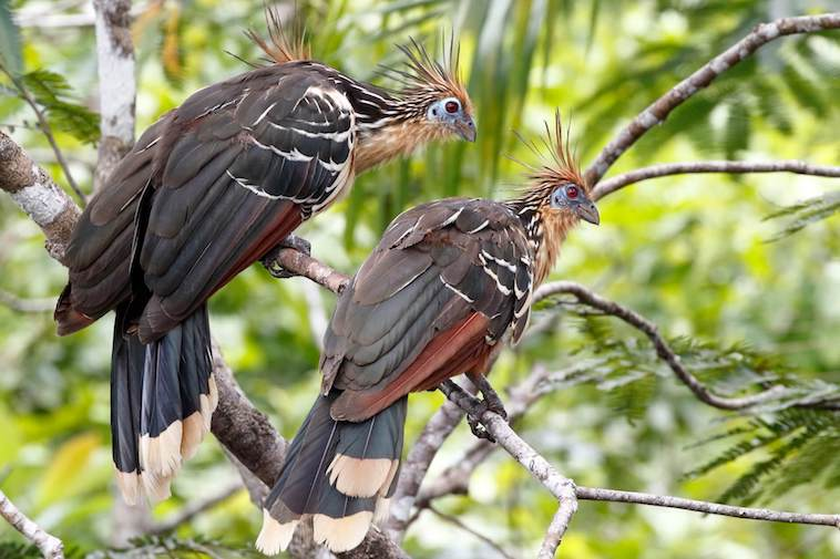 Hoatzin of Stinky Turkey in de Cuyabeno Wildlife Reserve in Ecuador