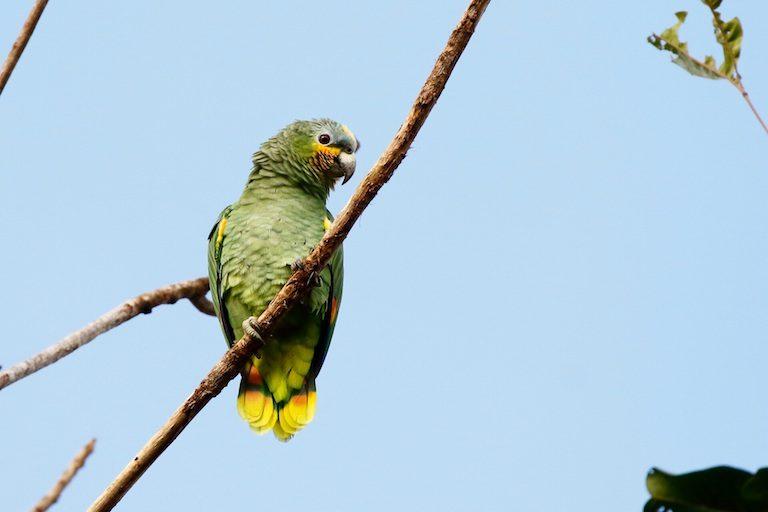 Groene papegaai op een tak in Cuyabeno Wildlife Reserve in Ecuador