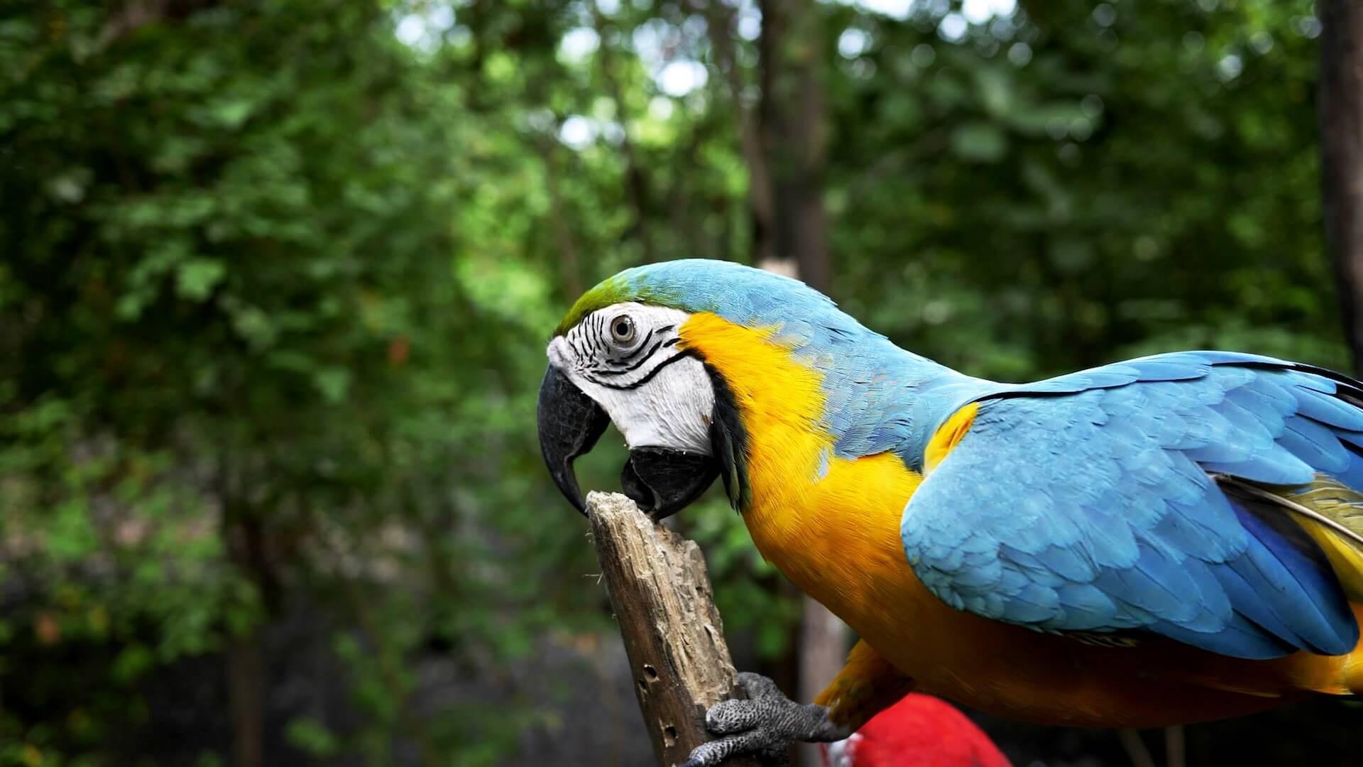 Papegaai bijt op tak in Ecuador