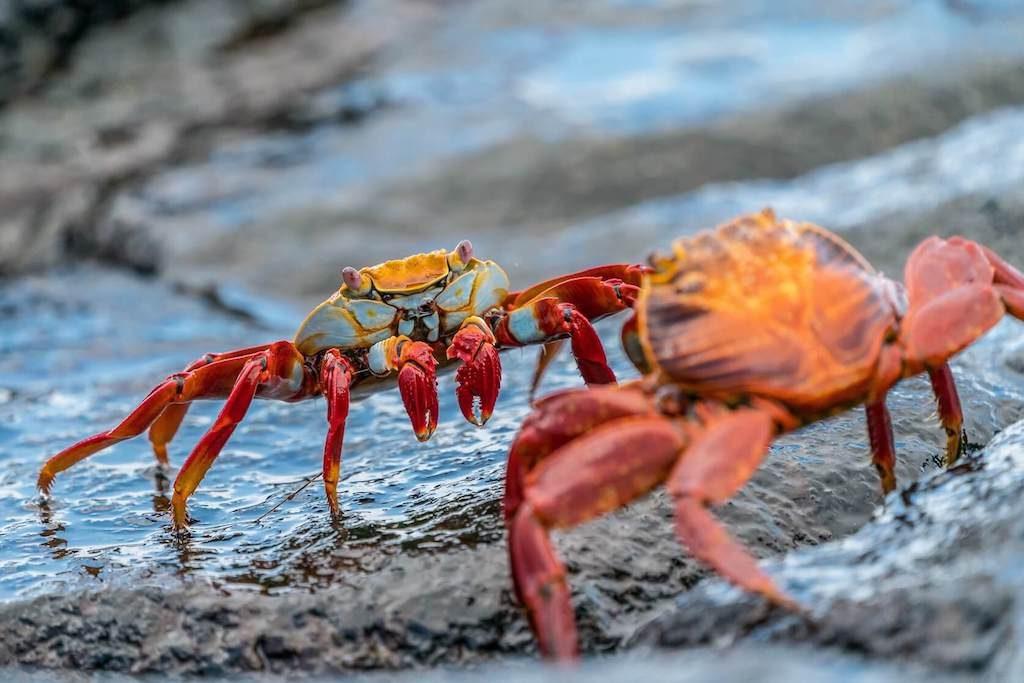 Twee krabben op de Galapagos