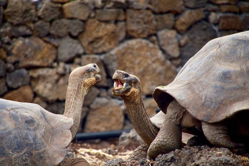 Twee Galapagosschildpadden