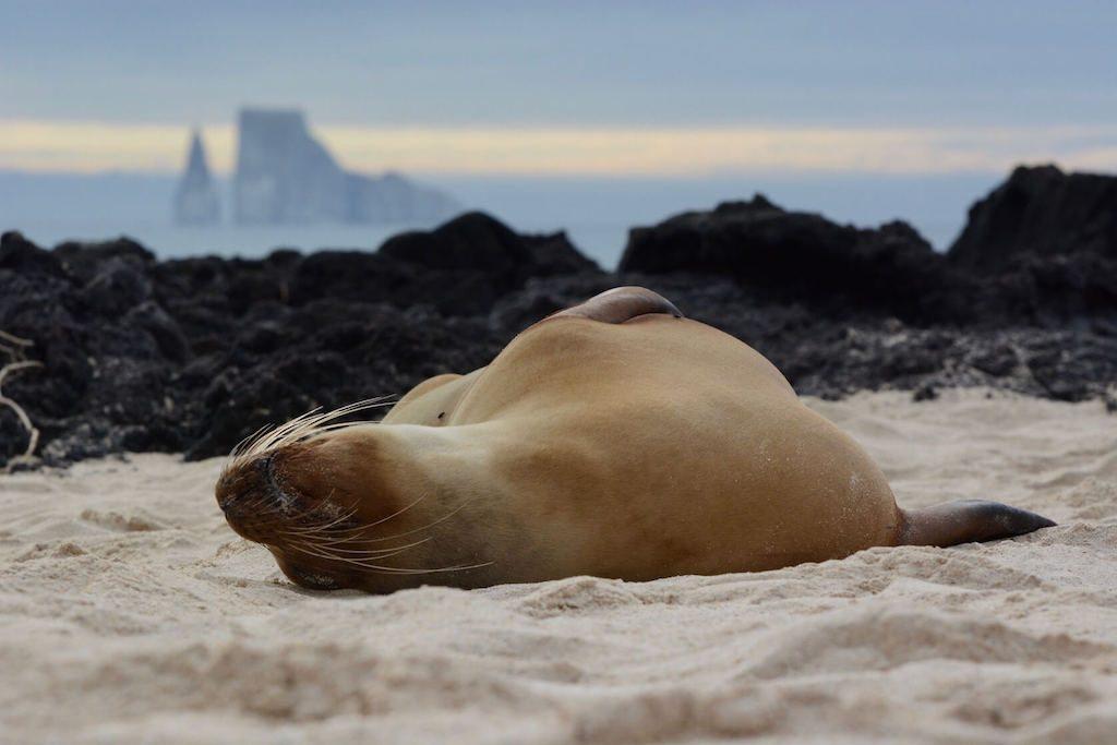 Een zeehond ligt op het strand van de Galapagoseilanden in Ecuador