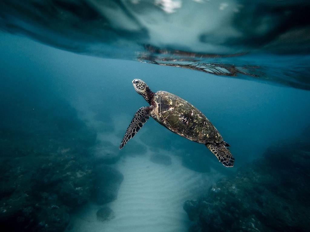 Groene zeeschildpad in het water bij de Galapagoseilanden