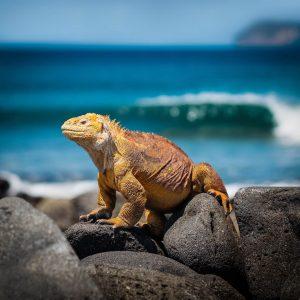 Een gele iguana op een rots in de Galapagoseilanden van Ecuador