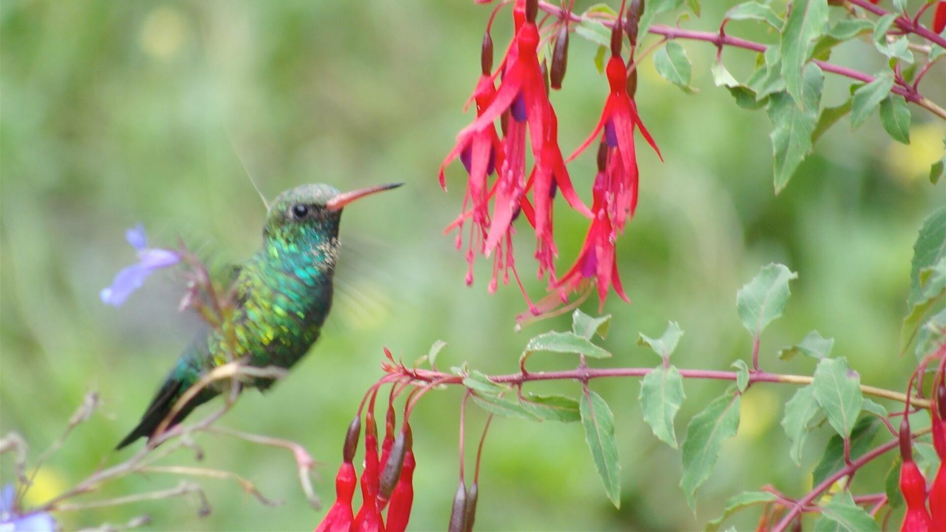 Een kolibrie bij een bloem in het nationaal park Amboro