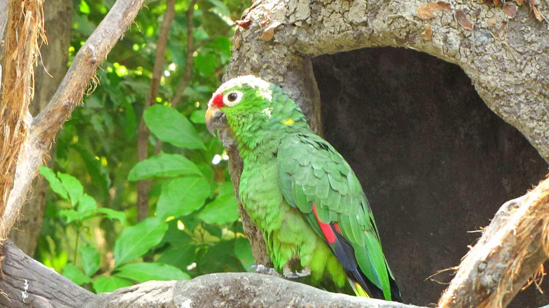 Groene papegaai op een tak in Parque Historica in Guayaquil in Ecuador