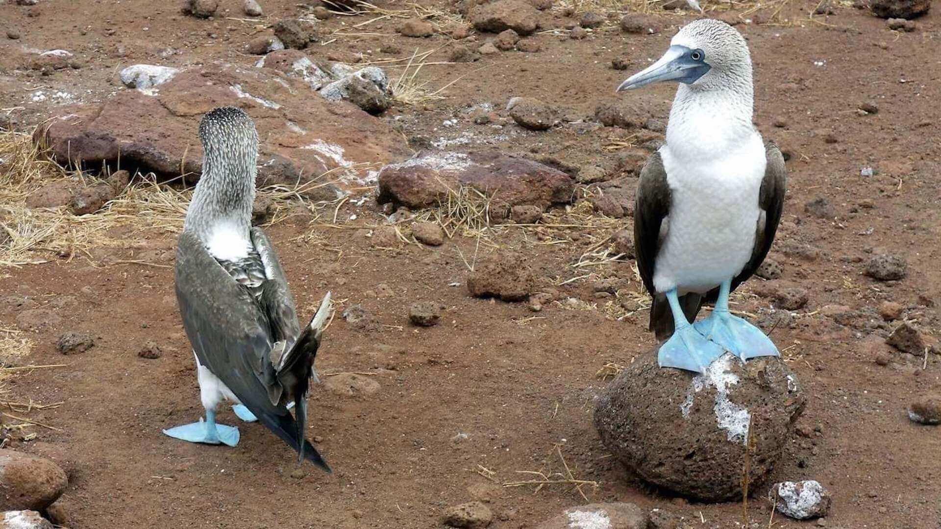 Blauwvoetgenten op het eiland Isla de la Plata in Ecuador