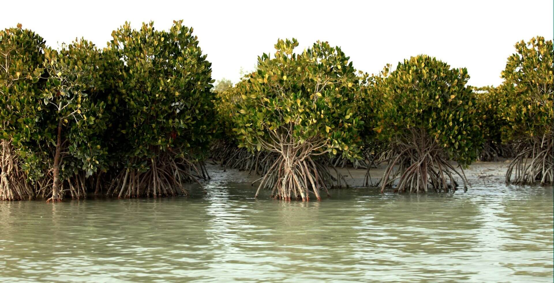 Het Hara mangrovebos op het eiland Qeshm in Iran