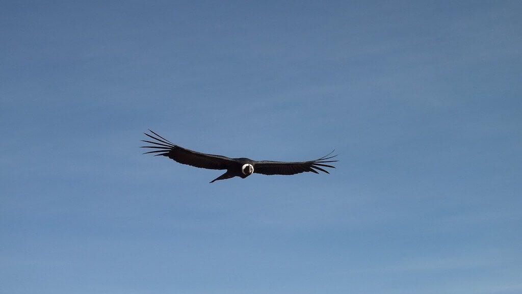 Een vliegende andescondor