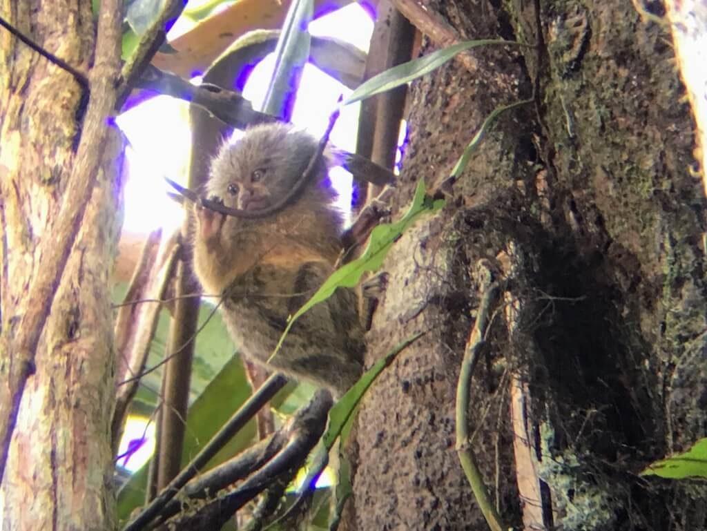 Dwergzijdeaapje aan een boom in de Cuyabeno Wildlife Reserve