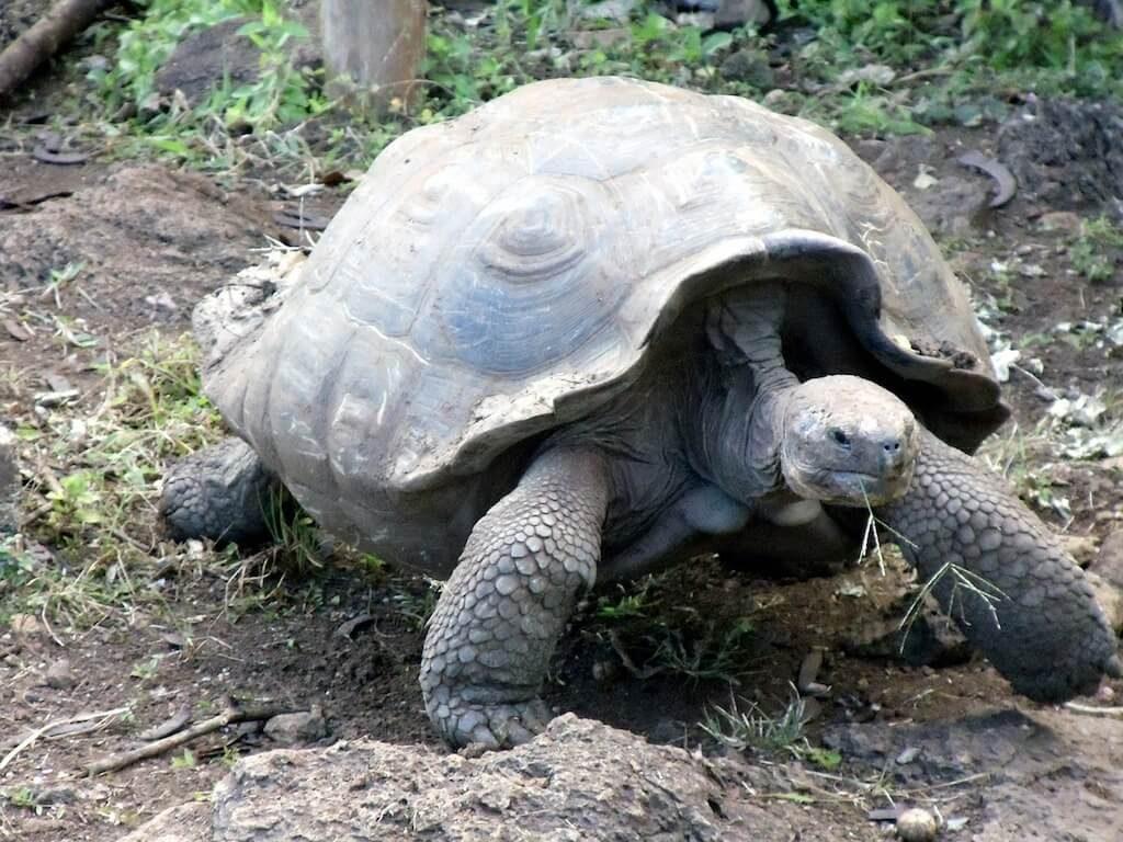 Een galapagosreuzeschildpad