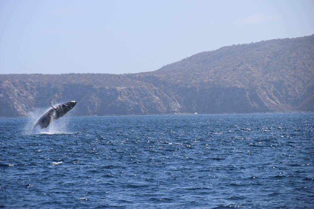 Walvis springt uit het water met op de achtergrond Isla de la Plata in Ecuador