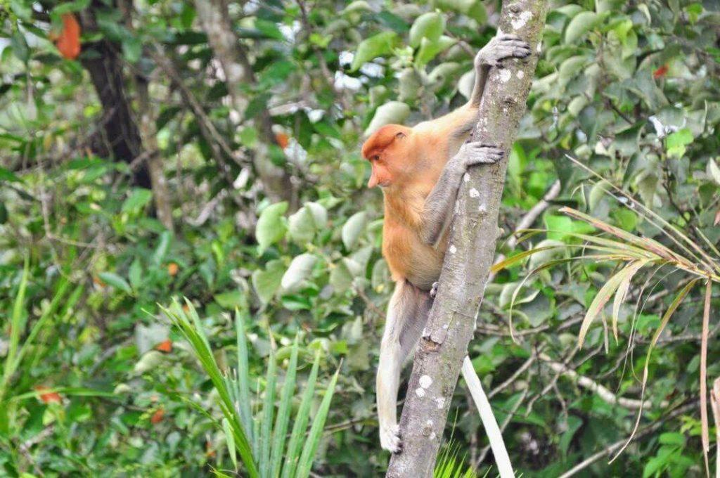 Neusaap hangend aan een boom langs de Brunei River